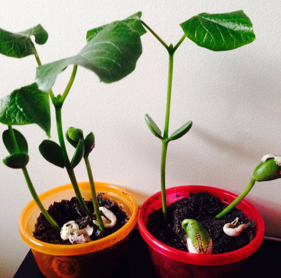 bean plant growth experiment
